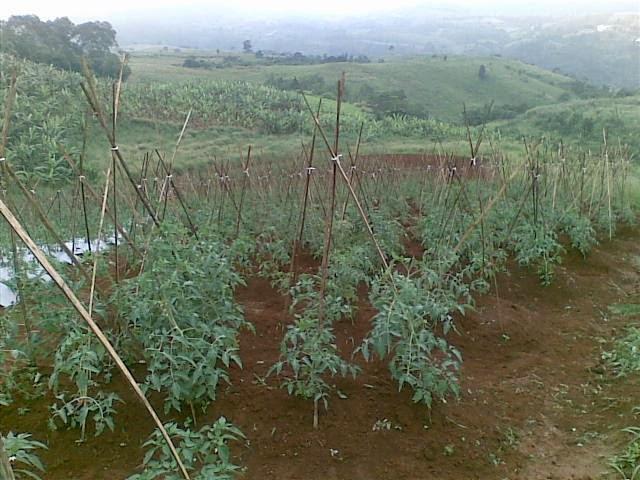 Foto(5209) Jual Tanah Milik | Kebun 23 Ha, Lokasi Puncak jual tanah di puncak