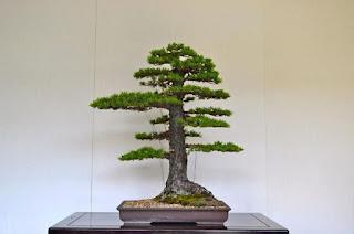Formal upright Bonsai style Chokkan
