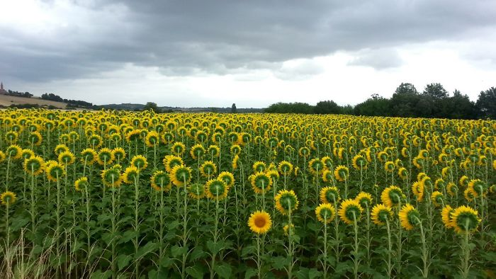 36 Unbelievable Pictures That Are Not Photoshopped - This Sunflower Doesn't Want To Face East