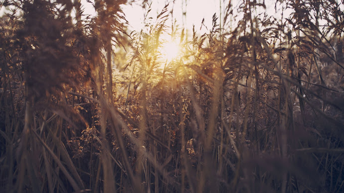 Wallpaper: Sun Rays Through Reed