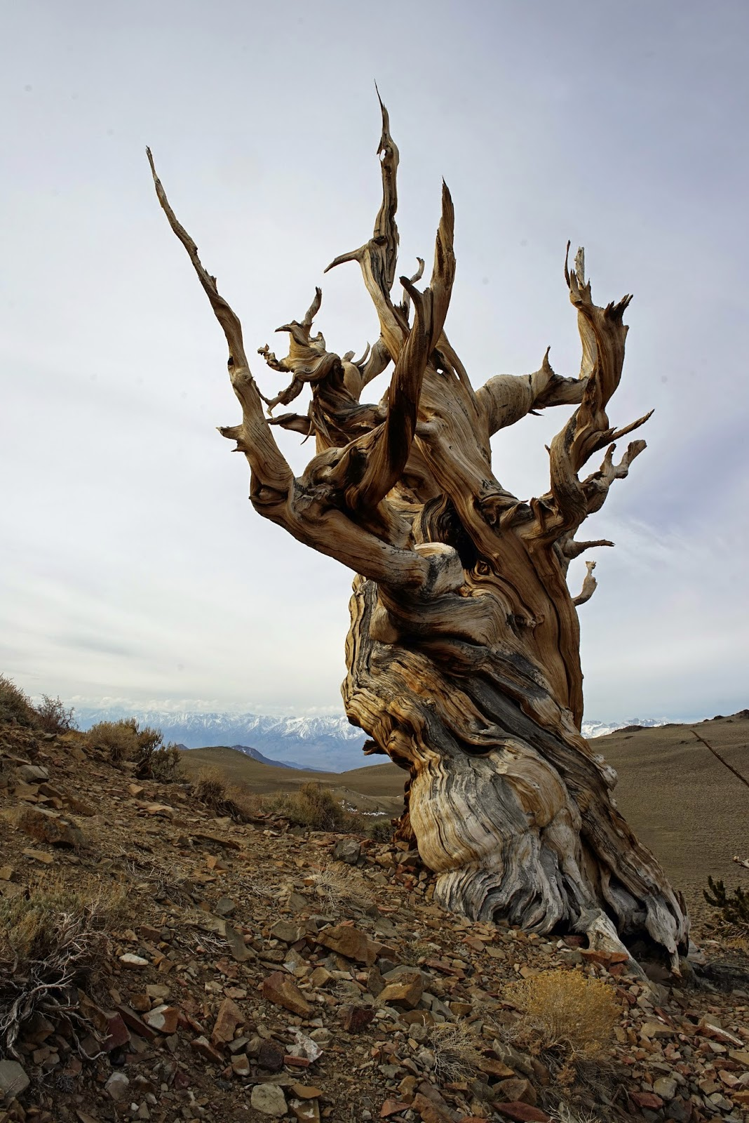 Mid Sierra Musings Ancient Bristlecone Pine Forest