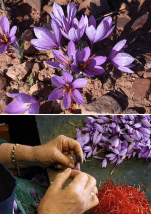 Do You Know Where Food Comes From These 12 Pictures Will Show You - Saffron
