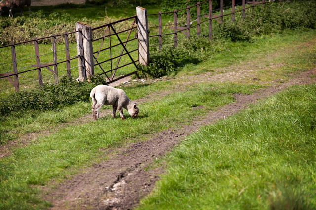 Young lamb eating grass in the Windrush Valley on a spring afternoon