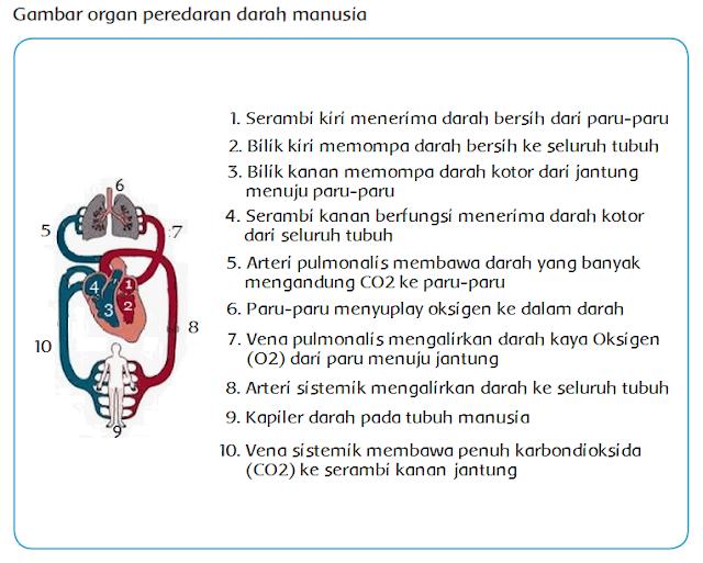 Materi Sekolah   Sistem Peredaran Darah Pada Insan ...