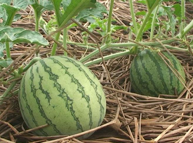 Hướng dẫn cách trồng Dưa hấu và chăm bón Dưa hấu