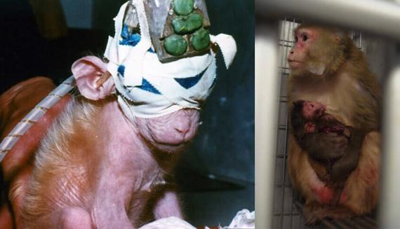 monyet yang terluka tetap melindungi anaknya