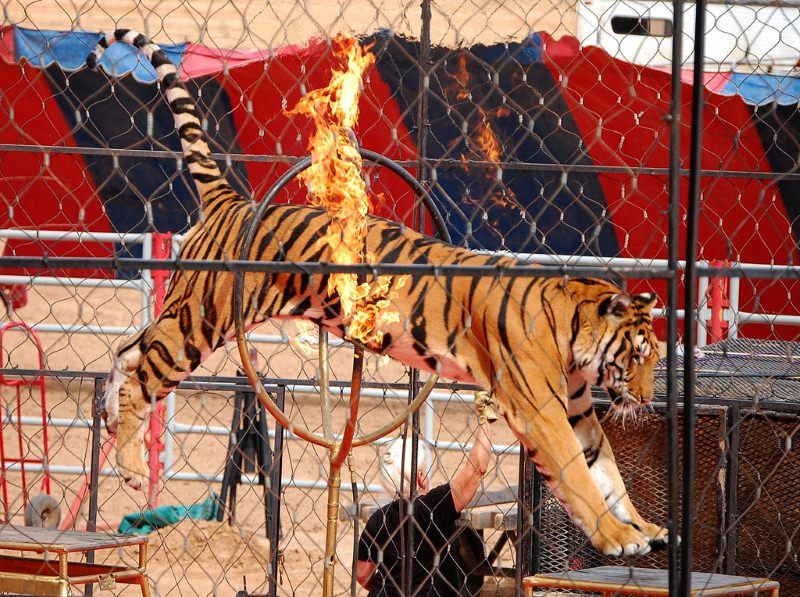 Tigre no circo