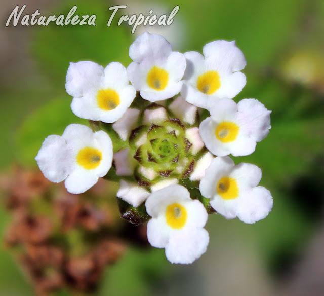Inflorescencia de una planta silvestre del género Lippia