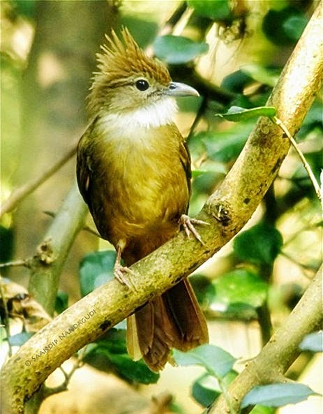 Tips Cara Merawat Cucak Jenggot Biar Gacor Perawatan Suara Burung Kicau Juara TIPS Cara Merawat Cucak Jenggot Biar Gacor Perawatan Suara Burung Kicau Juara