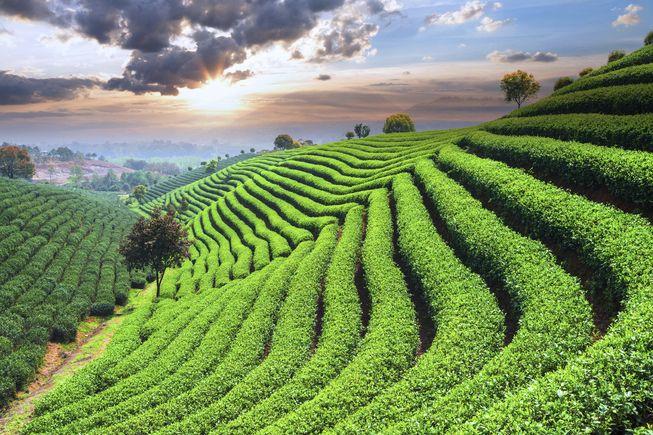 perkebunan teh