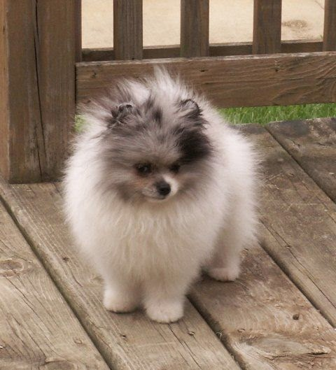 pomeranian life span cute dogs and cats top 5 longest living dog breeds 5271