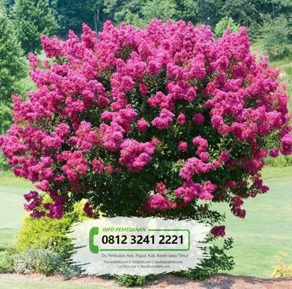 Jual Benih / Biji Pohon Bungur