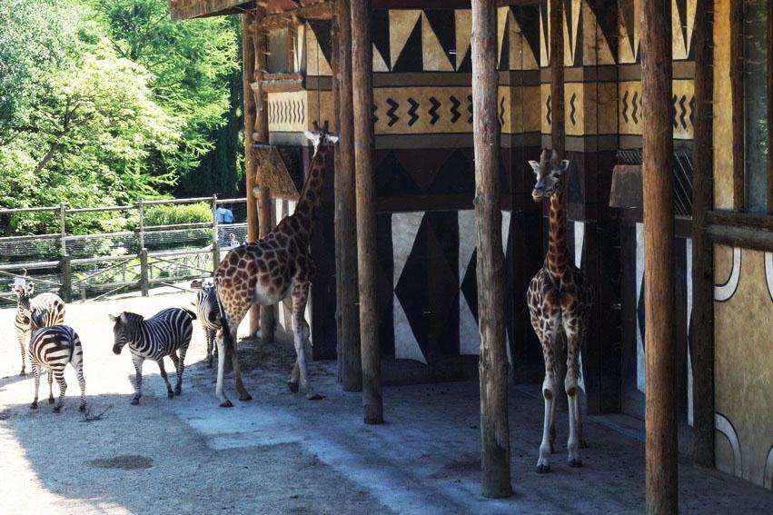 bellewaerde-parc-attraction-belgique-girafe-zebre