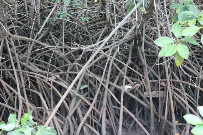 Ramaje en los manglares
