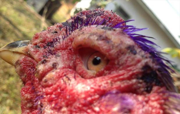 Mata merupakan pecahan badan yang vital peranannya bagi kemampuan  3 Rahasia Obat Mata Ayam alasannya yakni Cacingan, Mata Merah, dan Luka Pukulan