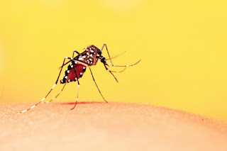 foto do mosquito aedes