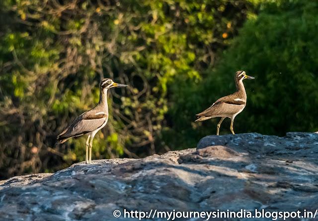 Ranganathittu Birds Greater Thick Knees
