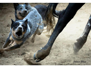 Cachorro informativo - Cão Boiadeiro Australiano