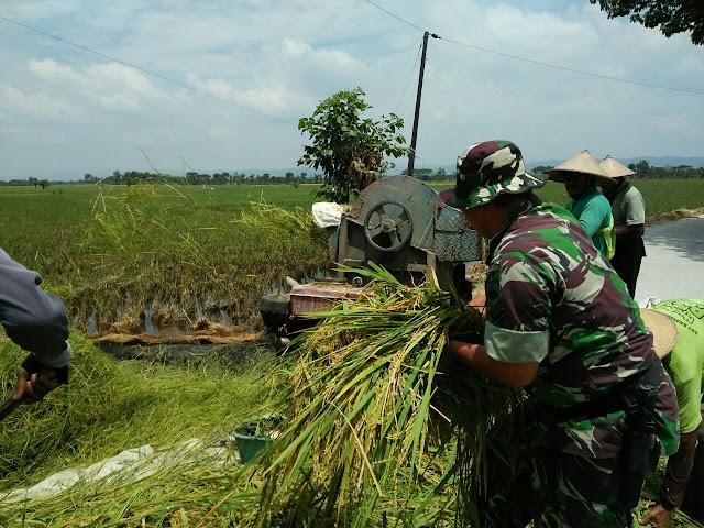 Babinsa Karang Rowo Dampingi Petani Panen Padi
