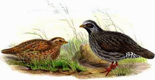 Indian birds - Himalayan quail - Ophrysia superciliosa