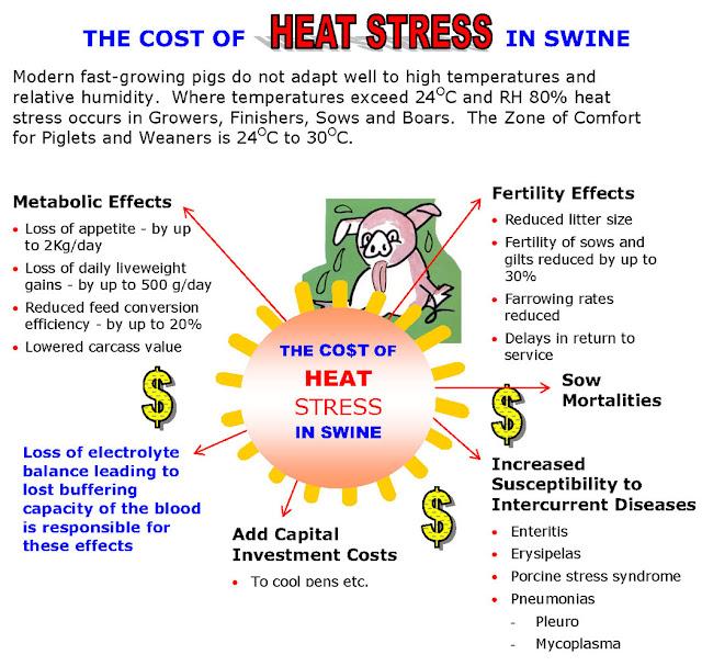 Ảnh hưởng của stress nhiệt lên heo. Ảnh minh họa.