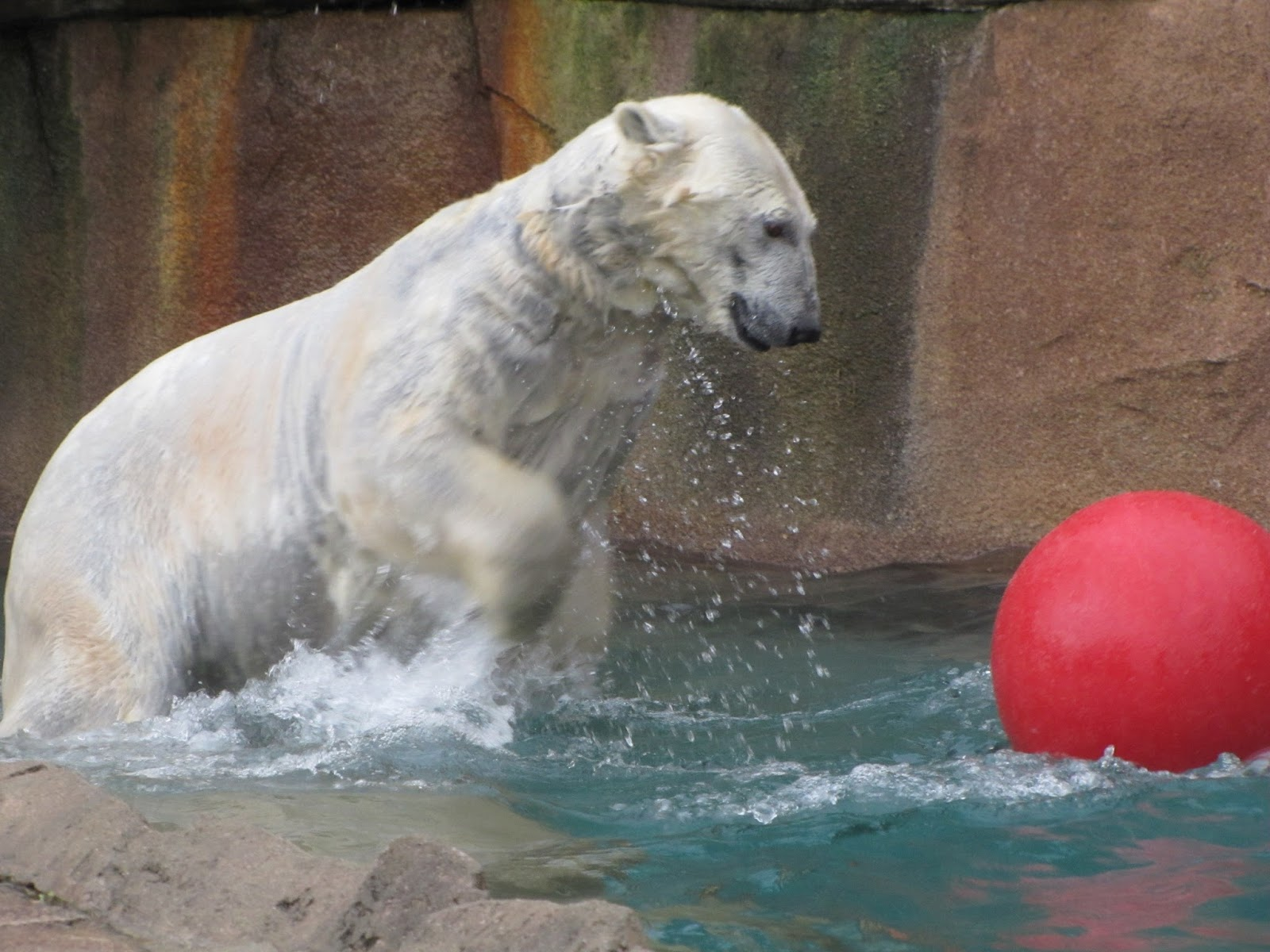 only 45 polar bears left in u s zoos
