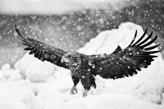 aguila-volando-bajo-la-nieve