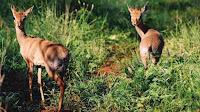 Dikdik african animal pictures _ Madoqua kirkii