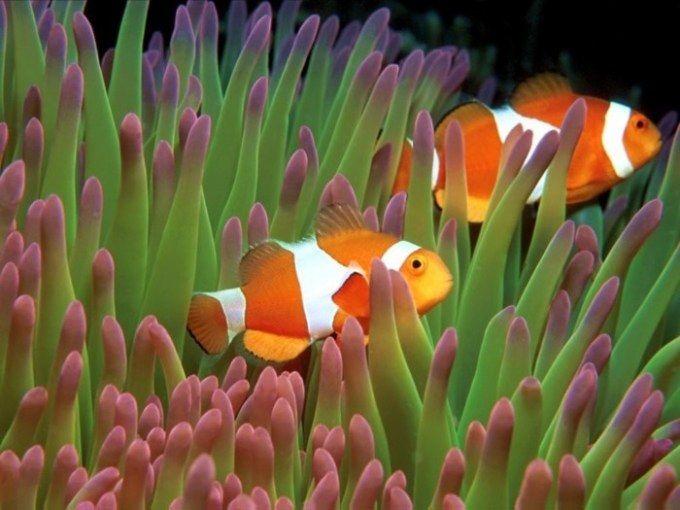 Gambar ikan nemo wallpaper bergerak