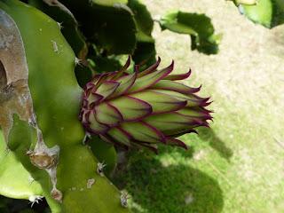 Pitaya - Pitahaya - Fruit du dragon - Hylocereus undatus