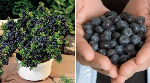 How To Grow Your Own Blueberries
