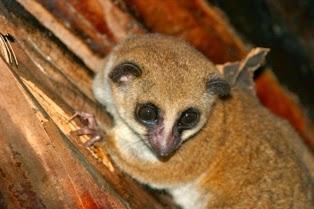 Lêmure-anão-de-Madagascar