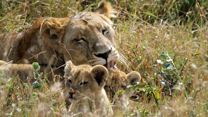 Wallpaper: Animals: Lioness with Cubs