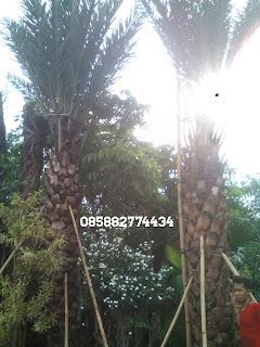 kami tukang taman minimalis menjual dan menyediakan jasa penanaman pohon palm kurma atau palem korma berbuah dengan harga paling murah