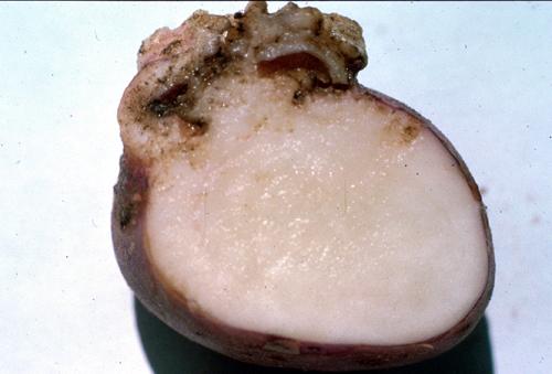 PotatoWartSingleTuber2