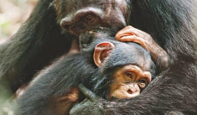 chimpancé bebé cargado por su madre