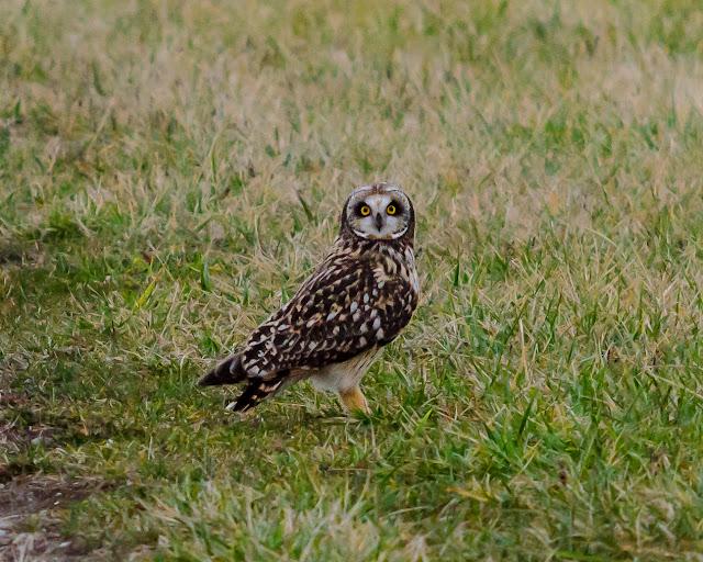 Short-Eared Owl Ohio