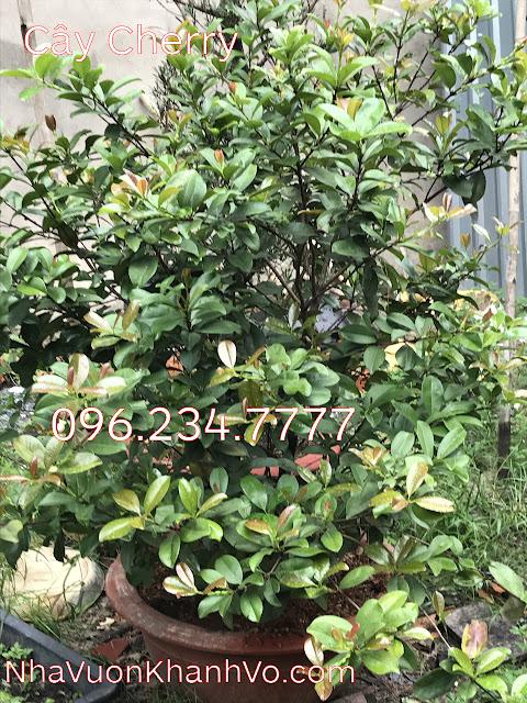 Sản phẩm cần bán: Bạn chưa biết: công dụng của cherry đối với sức khỏe Cay-cherry-khanh-vo-2