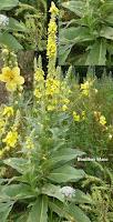 Plantes efficaces pour les hémorroïdes