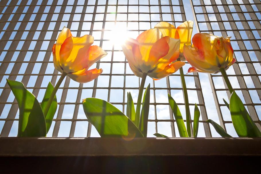 'Tres tulipanes cuchicheando', de Carlos Larios