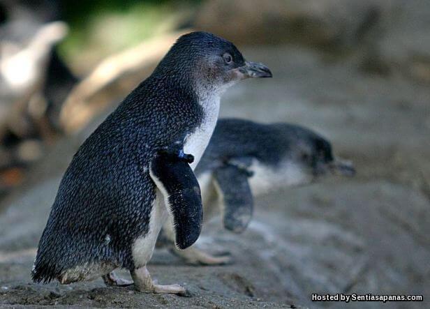 Penguin Kecil (Eudyptula Minor)