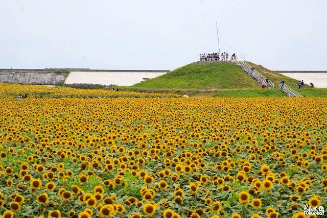 Yanagawa Sunflower garden, Fukuoka