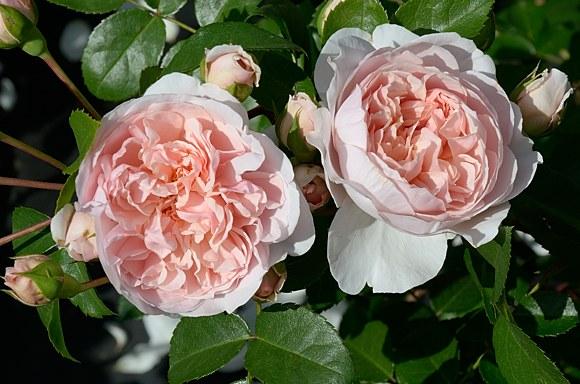 Wildeve сорт розы фото купить саженцы Минск