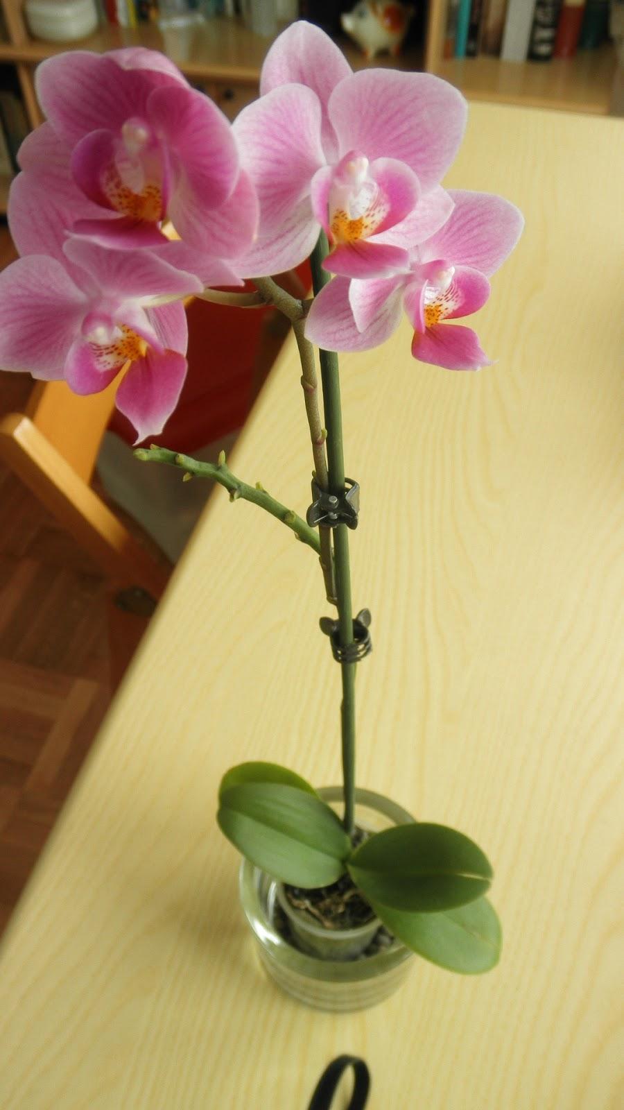 Myrtilla 39 shouse la maga di oz e l 39 ultima sua orchidea for Nuovo stelo orchidea