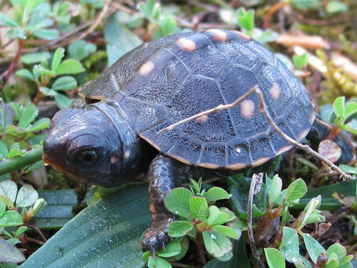 Blue Jay Barrens Baby Box Turtle