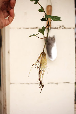 Racine de lierre, bouturage, jardin