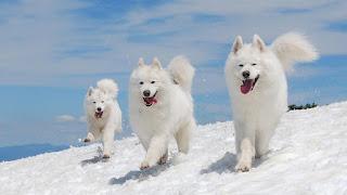6 Anjing Peliharaan Yang Harganya Mahal Banget Gan