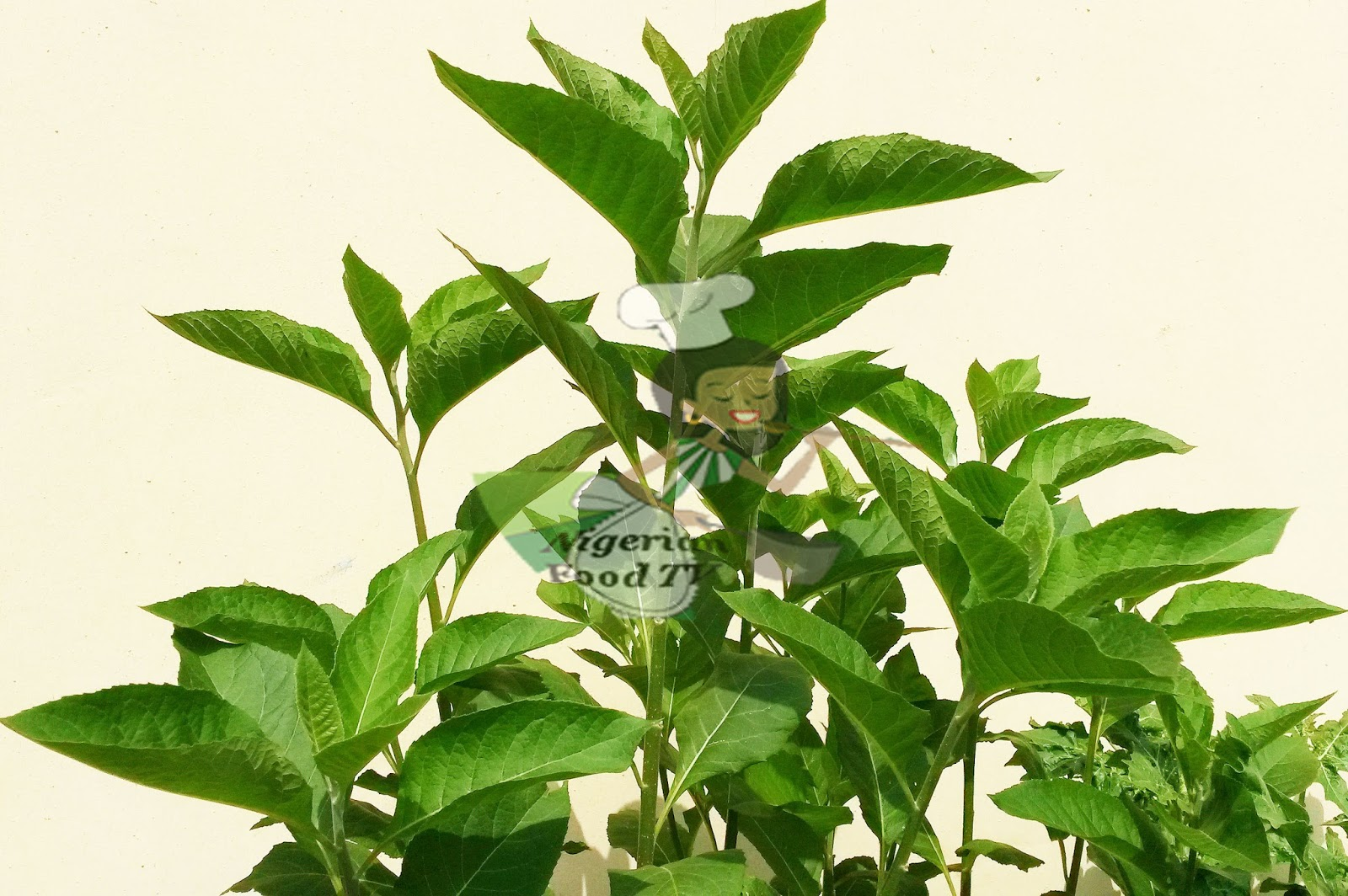 Health Benefits of Bitter leaf (Vernonia amygdalina