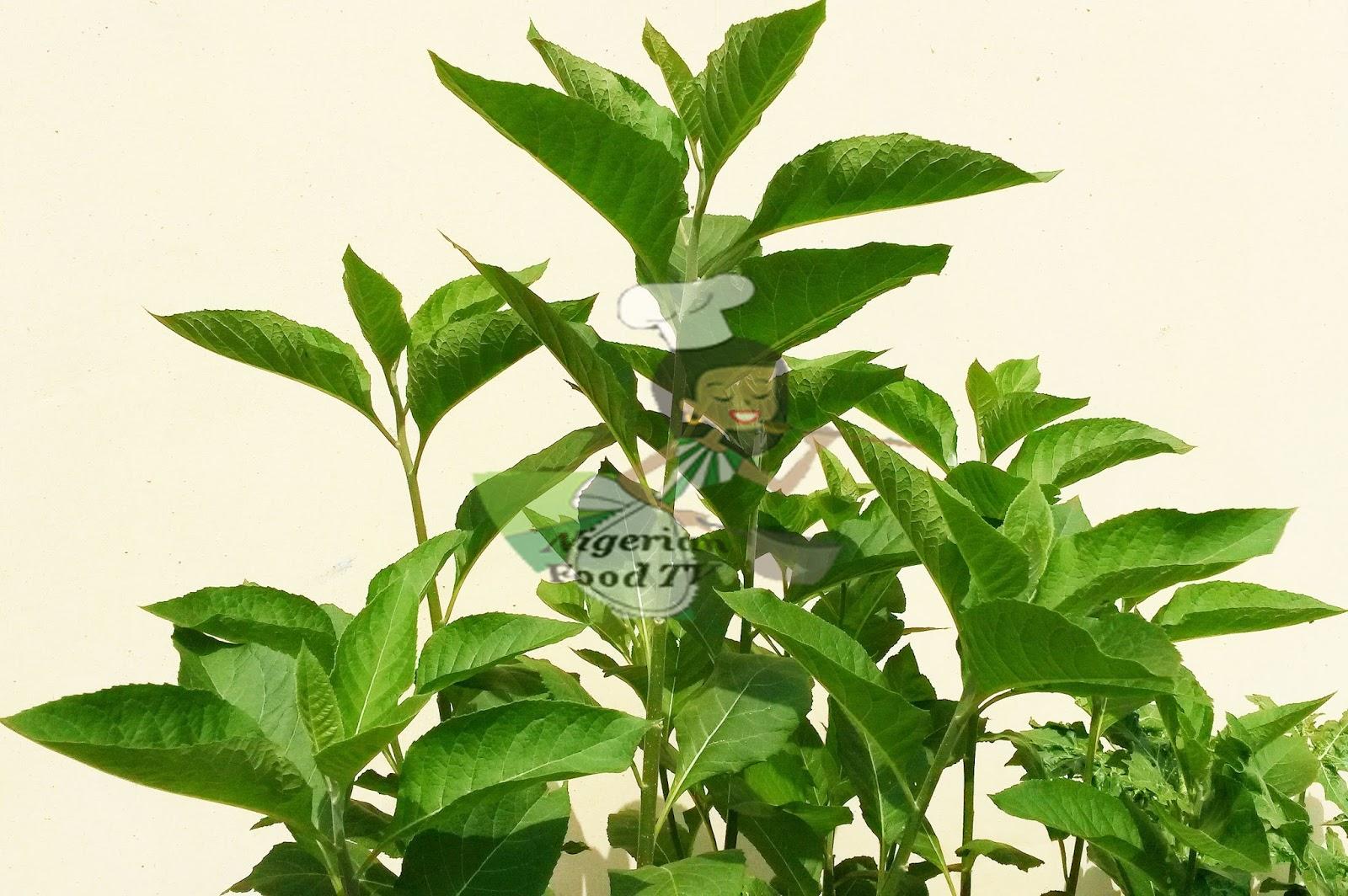 bitter leaf juice , Health Benefits of Bitter leaf (Vernonia amygdalina)