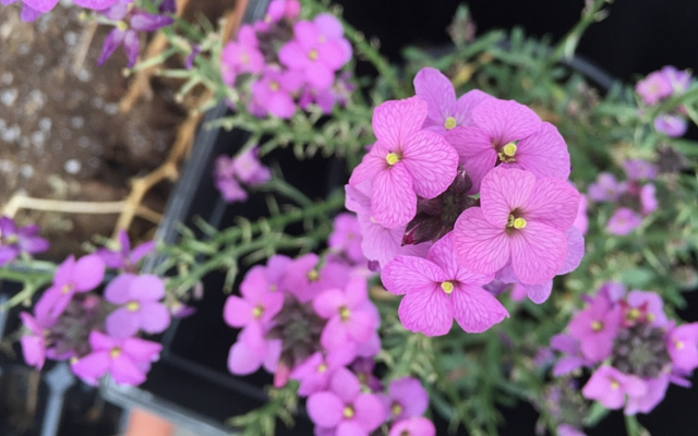 how to grow wallflowers the joy blog